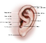 Pictures-of-Auricle-575