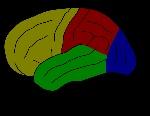 hjernebarken