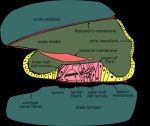 300px-Cochlea-crosssection