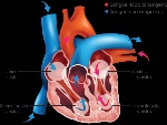 heart-diagram_it_withcopy_web