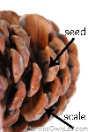 SEED CONE