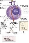 mast-cell_chemokins