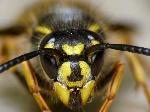 400x300_Common_Wasp__Vespul