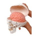 science- skull protecting brain