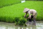arroz no vietna