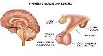 sistema-adenohipofisis1