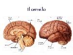 Il+cervello