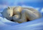 uyuyan-ayı
