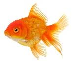 a gold fish