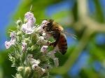 300px-Bees_1_bg_082804