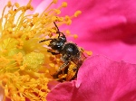 Bee_pollinating_a_rose