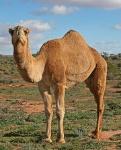 180px-07._Camel_Profile,_near_Silverton,_NSW,_07.07.2007