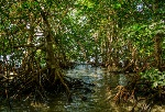 mangrove forest 512x350(1 of 1)