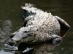 1200px-Crocodylus_acutus_mexico_02-edit1